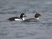 Barrows Goldeneye Royalty Free Stock Image