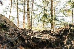 Barrskog av träd med en full ramslinga arkivfoto