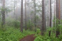 Barrskog i dimman efter regnet royaltyfria foton