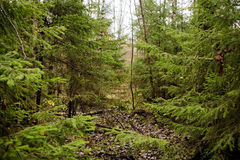 Barrskog i sommaren Arkivfoto