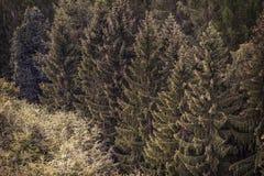 Barrskog julgranar, skogtextur royaltyfria foton