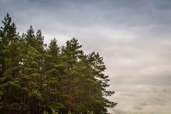Barrskog mot himlen Arkivfoton