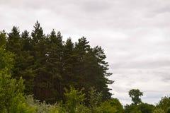 Barrskog mot himlen Royaltyfri Fotografi