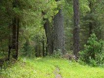 Barrskog Ryssland, Alanga sommar för natur för caucasus dombailiggande Royaltyfria Foton