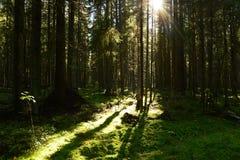 Barrskoggryninglinje skuggor av träden på mossan i ljuset av solen Fotografering för Bildbyråer