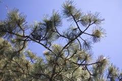 barrträd Royaltyfri Foto