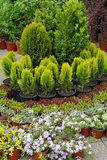 barrträd Fotografering för Bildbyråer