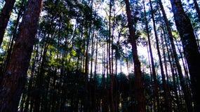 Barrträd Forast Arkivbild