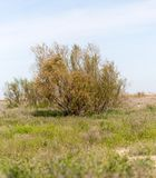Barrträd i öknen Royaltyfria Foton