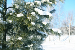 Barrträd i snön Arkivfoton