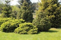 Barrträd i trädgården Arkivbild