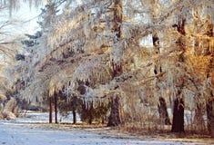 Barrträd med gula visare som täckas med snö på sunris Arkivfoton