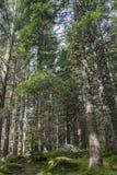 Barrträd på en gräsplan mossa-täckt jordning Royaltyfria Bilder