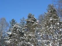 Barrträd täckas med snö Royaltyfria Bilder