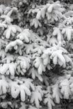 Barrträdfilialer under snö Arkivfoton
