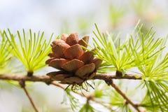 Barrträdkotte, sikt för makro för granträdfilial Skognaturlandskap, väder för solig dag slapp fokus Royaltyfri Bild