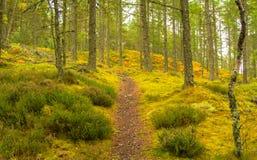 barrträds- östligt ukraine för Europa skogbana trä Arkivbild