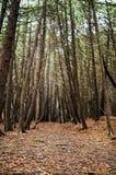 barrträds- östligt ukraine för Europa skogbana trä Royaltyfria Foton