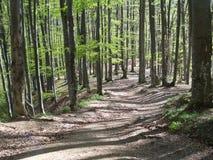 barrträds- östligt ukraine för Europa skogbana trä Arkivfoto