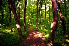 barrträds- östligt ukraine för Europa skogbana trä Härlig skogbana i nationalparken Fruska Gora Royaltyfria Foton