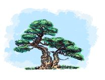 Barrträds- bonsai, gräsplan som buktas Royaltyfri Foto