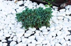 Barrträds- buske och vita dekorativa stenar härlig lawn royaltyfria foton
