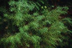 Barrträds- filialer med ljus - gröna visare, närbild Arkivfoto