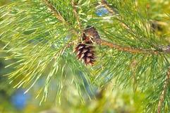 barrträds- pinecone Arkivbild
