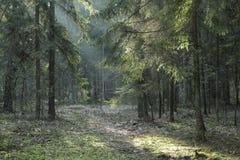 Barrträds- ställning av den Bialowieza skogen i solnedgång Royaltyfria Bilder