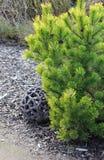 barrträds- tree för garneringlivstid fortfarande Royaltyfri Fotografi