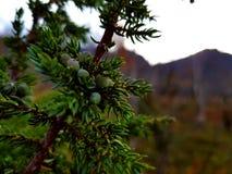 Barrträds- växt arkivbild
