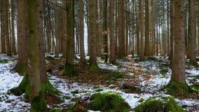 Barrträdskogen i vår, med snö återstår arkivfilmer