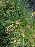 Barrträdtexturbakgrund Arkivfoto