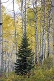 Barrträdträd i mitt av asp- träd i det Kebler passerandet, nära stad av Crested butten Colorado Amerika i Autuen royaltyfria foton