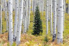 Barrträdträd i mitt av asp- träd i Kebler passerar, Colorado Amerika i Autumn Fall arkivfoton