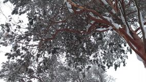 Barrträdtree i vinter stock video