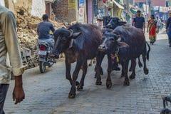 Barsana, Inde/le 23 février 2018 - les bétail marchent dans les rues de pavé rond de la ville images stock