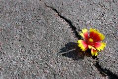 Barst op de asfaltweg Een barst in het asfalt en een mooie bloem Exemplaarruimten stock afbeeldingen