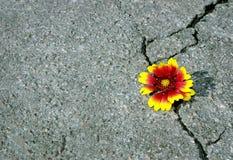 Barst op de asfaltweg Een barst in het asfalt en een mooie bloem Exemplaarruimten stock foto's