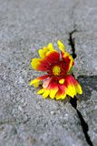 Barst op de asfaltweg Een barst in het asfalt en een mooie bloem Exemplaarruimten stock afbeelding