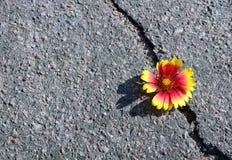 Barst op de asfaltweg Een barst in het asfalt en een mooie bloem Exemplaarruimten royalty-vrije stock afbeelding