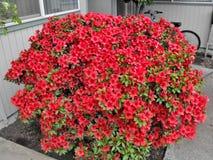 Barstende rode bloemen Stock Foto's