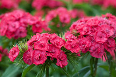 Bart carnations Royalty Free Stock Images