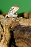 Bartagame -. Young bearded dragon ( Pogona vitticeps Stock Images