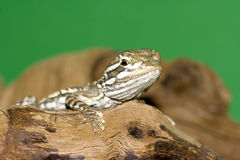Bartagame -. Young bearded dragon ( Pogona vitticeps Royalty Free Stock Photo