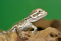Bartagame -. Young bearded dragon ( Pogona vitticeps Stock Photo