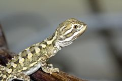 Bartagame. Young bearded dragon , baby reptile Stock Images