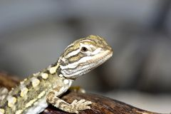 Bartagame. Young bearded dragon , baby reptile Royalty Free Stock Images