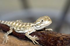 Bartagame. Young bearded dragon , baby reptile Stock Photography
