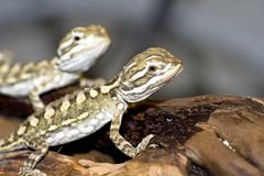 Bartagame. Young bearded dragon , baby reptile Royalty Free Stock Photos